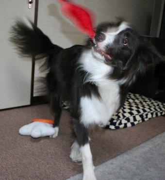 おもちゃをブンブン振り回す犬
