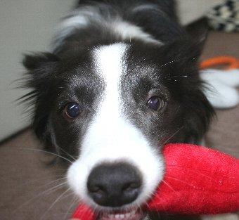 おもちゃをくわえる犬のアップ顔