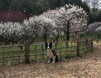 かなり散ってしまった梅と記念撮影するボーダーコリー