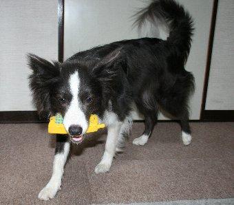 ガラケー型のおもちゃで遊ぶ犬