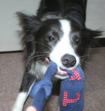 新しいオモチャで遊びご機嫌な犬