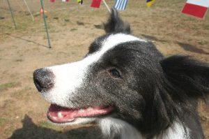 レトリーブ大会に来て楽しそうな犬