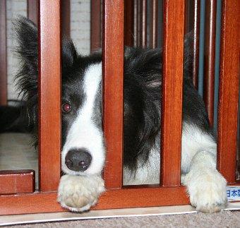 サークル内で不満気な犬