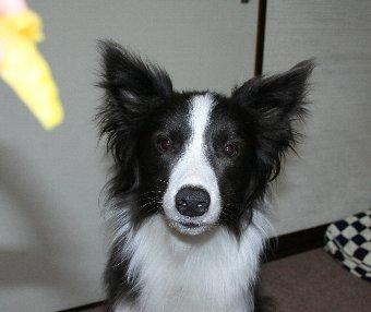 焼き芋が貰えそうで真剣な顔になる犬