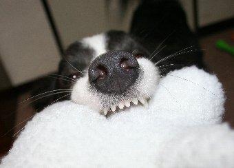 ボーダーコリーの前歯