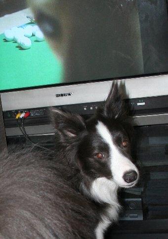 テレビ前で振り返る犬