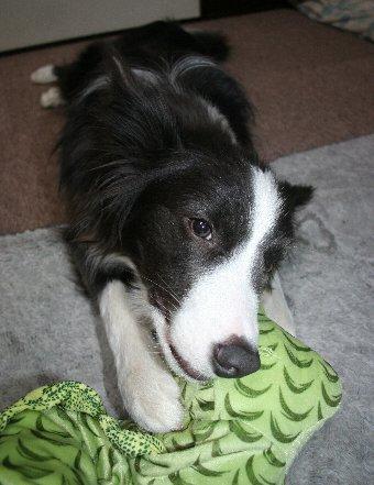ドラゴンを噛んで遊ぶ犬