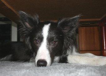 ローテーブルの下が気に入った犬