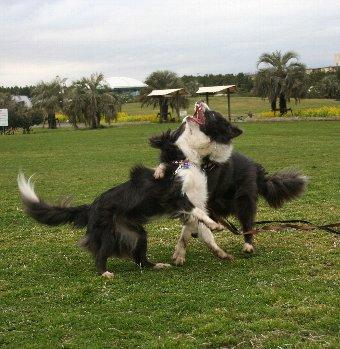 兄弟犬と再会した1才のボーダーコリー