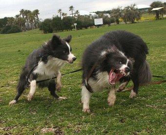 怖い顔で楽しそうに遊ぶ犬たち