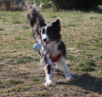 紐付きボールで遊ぶ犬