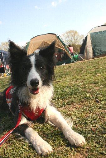 アジリティ大会の応援に来た犬