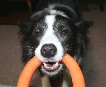 輪っかで引っ張りっこ遊びをする犬