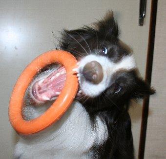 おもちゃをキャッチする瞬間の犬