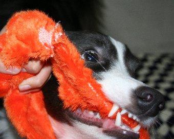すごい顔で引っ張りっこをする犬