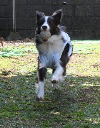 庭でウキウキで走る犬