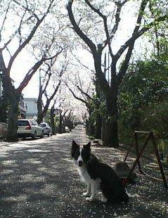 住宅街の桜スポットで記念撮影する犬