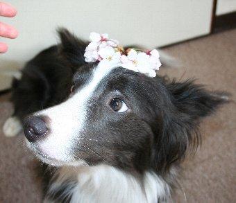 桜を載せられた犬