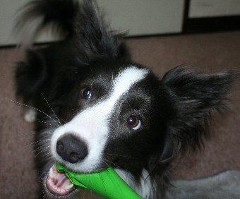 おもちゃで遊ぶボーダーコリー
