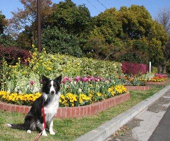 花壇の花と記念撮影するボーダーコリー