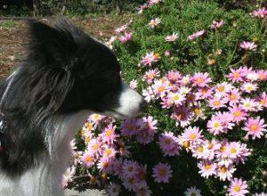 ピンクの花とボーダーコリー
