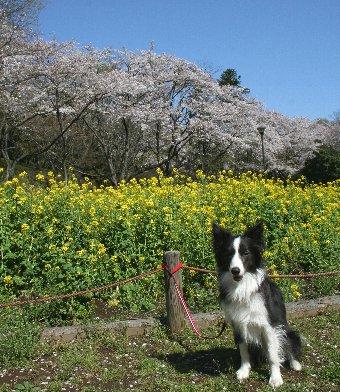 桜と菜の花とボーダーコリー