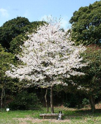 大きな桜の木とボーダーコリー