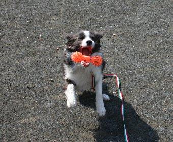 公園でロングリードをつけて遊ぶ犬