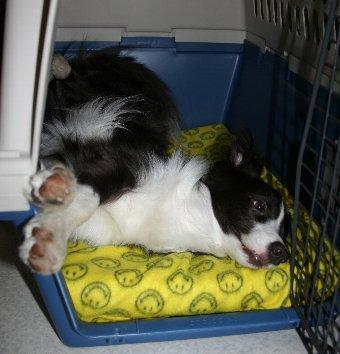 クレート内で変な寝相で寝る犬