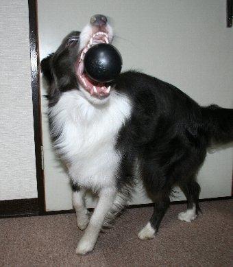 ボールキャッチする犬