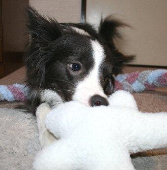 久しぶりのおもちゃに食いつく犬