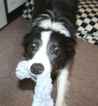引っ張りっこする犬