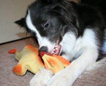 怖い顔で遊ぶ犬