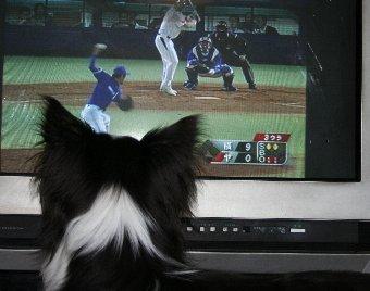 テレビで野球観戦する犬