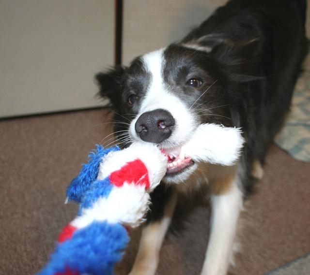 エナジーロープのようなロープで遊ぶ犬