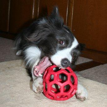 ホーリーローラーボールで遊ぶ犬