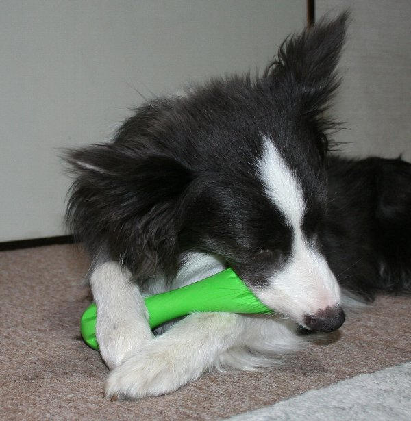 ハーリーで遊ぶ犬