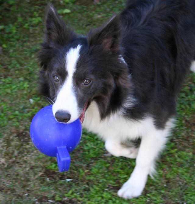 ジョリーボールをくわえる犬